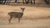 Spotted Deer in India