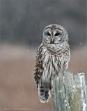 Barred Owl - Dec 31st - 2005