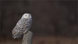 Snowy Owl Hunting