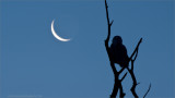 Snowy Owl and the Moon