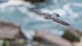 Peregrine Falcon in Flight over Niagara Gorge