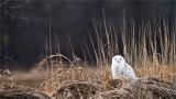 Snowy Owl on the Farm