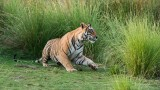 Tiger Male - Saheb T28
