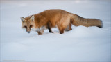 Red Fox in some Snow
