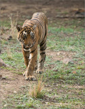 Tiger on the Prowl