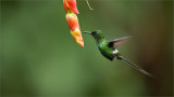 Green Thorntail in Flight