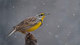 Eastern Meadowlark in the Snow