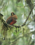 Female Masked Trogon in the Cloud Forest