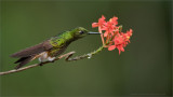 Buff-tailed Coronet in Ecuador
