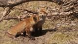 Fox Family 3
