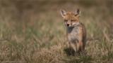 Fox Kit Posing
