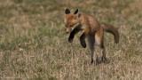 Fox Kit Hunting