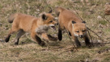 Fox Kits in Chase