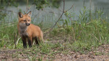 Red Fox Kit on an Adventure