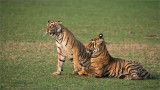 Tigers in Play