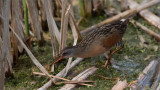 Virginia Rail with a snack!