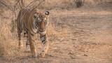 Royal Bengal Tiger on the Prowl