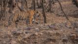 Royal Bengal Tiger on the Hunt