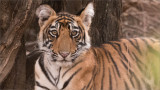 Tiger Cub - Ranthambore National Park