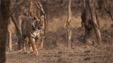 Tigress Arrowhead Hunting for Food
