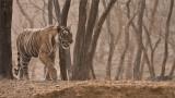 Tigress Arrowhead in India