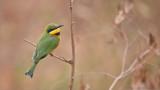 Little Bee-eater in Tanzania