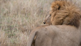 Male Lion Watching his Cubs
