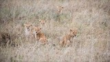 Lion Cubs in Formation