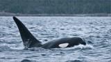 Orca in the Atlantic Ocean