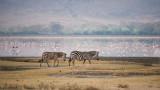 Zebras in the Ngorogoro Crater - Tanzania