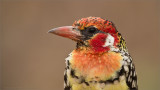 Red and Yellow Barbet in Africa