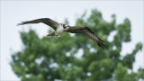 Osprey in Flight with Perch