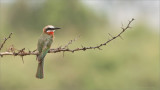 White-fonted bee-eater