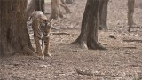 Princess Arrowhead - Female Tigress in India