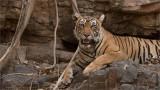 Tigress Lightening on the Rocks