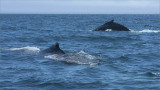 Humpback Whales - Newfoundland