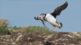 Puffin in Flight with Lunch