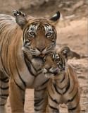 Tiger Family