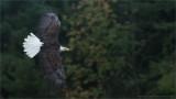 Bald Eagle in Flight (falconers bird)