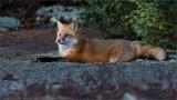Red Fox resting.