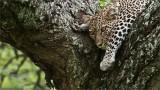 Sleepy Leopard in Tanzania