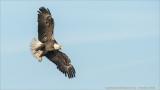 Bald Eagle in Flight - Florida