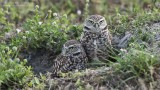 Burrowing Owls - Florida