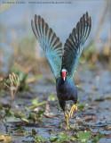 Purple Gallinule Lift Off