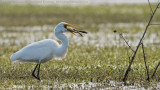 Great Egret with a Free Lunch