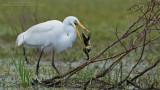 Great egret and Lunch