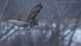 Great grey owl Lift Off