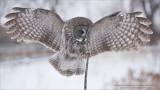 Great Grey Owl - Eyes Wide Shut