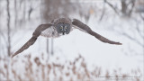 Great Grey Owl Hunting Naturally