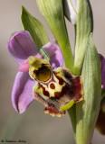 Wild Orchids / Orchidées sauvages